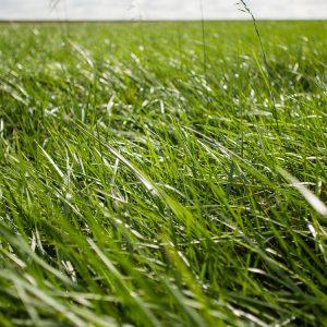 organic-alfalfa
