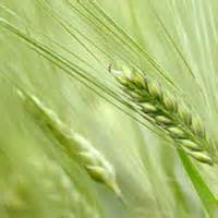 organic-oat-grass